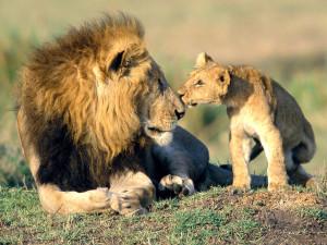 lion-cub-picture