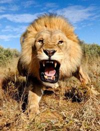 lionchaser2